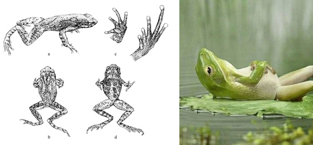 Two frog images - one is biology, the other is comic.