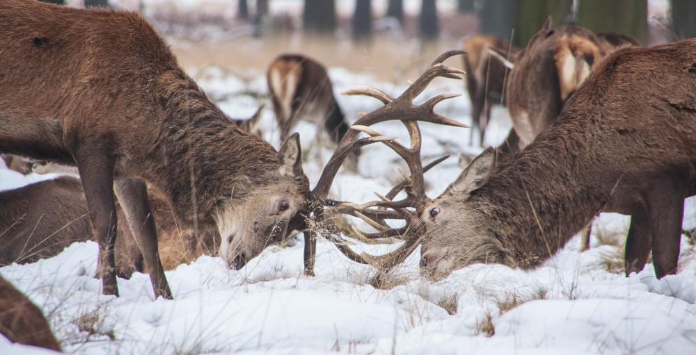 two deer locking horns