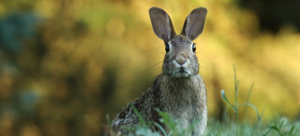 startled rabbit